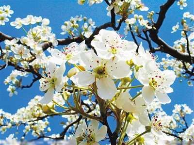 和月折梨花txt新浪_——岑参        梨花,花期为4~5月.花呈白色,花冠五瓣,花梗较长.